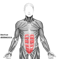 Rectus Abdominus (image from Wikipedia)